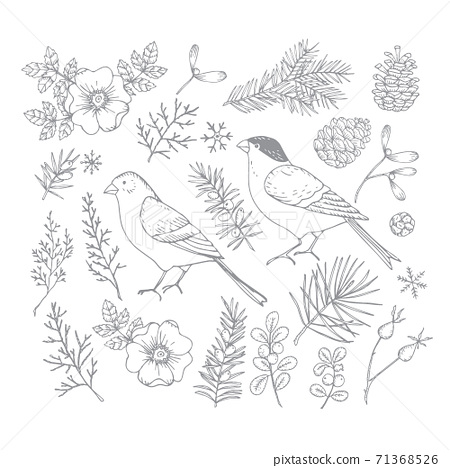 Set of Christmas birds and floral illustrations. Bullfinch and golden finch with flowers, leaves and fir and pinte tree branches and cones. Rose bloom, hips engravings. Isolated vector illustration. 71368526