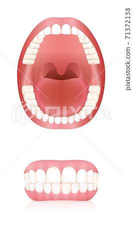 Teeth. Open adult mouth model and dentures or false teeth. Abstract isolated vector illustration on white background. 71372138
