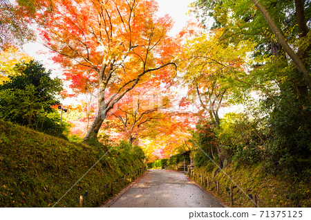 World heritage Iwate Chusonji Temple Momiji Tunnel on the approach to autumn leaves 71375125