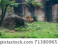 動物 台北市動物園 台北木柵動物園 獅子 71380965