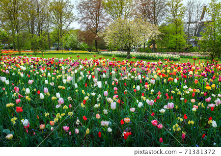 Colorful fresh tulips and spring flowers in Keukenhof park, Netherlands 71381372