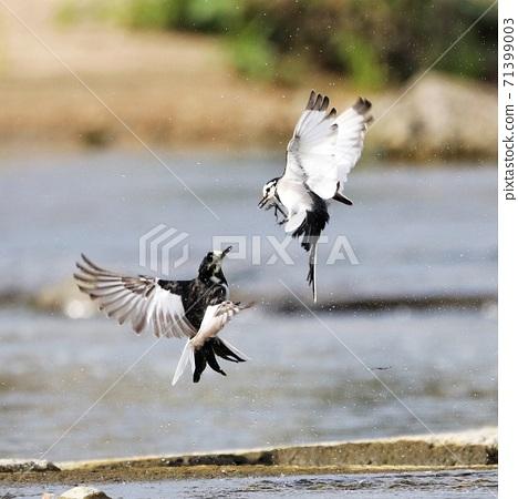 動物 鳥 白鶺鴒 雀 嬉戲 河邊 71399003