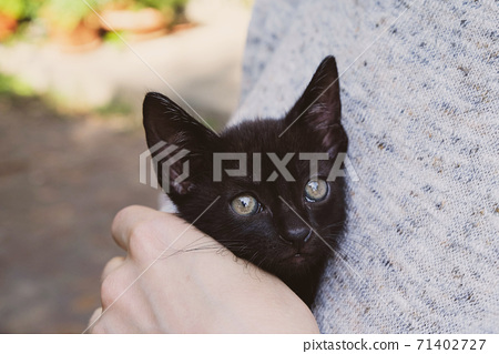 Adorable little black kitten in female hands, close up. 71402727