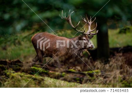 deer, stag, elk 71403485