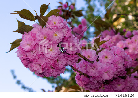 pink cherry blossom on a sunny day. nature beauty in springtime 71416124