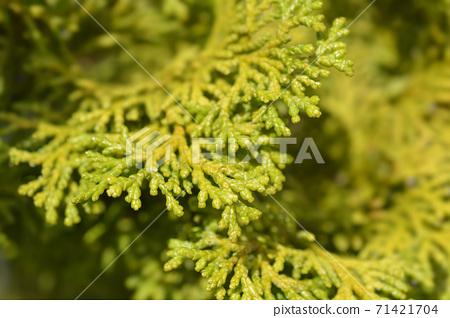 Hinoki cypress Nana Gracils 71421704