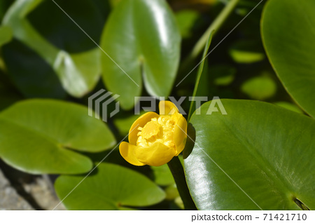 Yellow water lily 71421710