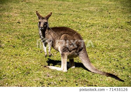 生活在澳大利亞草原上的野生袋鼠 71438126