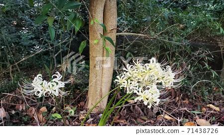 흰색 피안 꽃의 꽃말은 다시 만날 날을 기대 71438726
