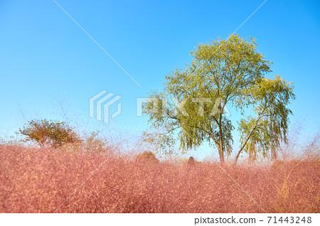 핑크뮬리와 가을하늘, 상암동 하늘공원  71443248