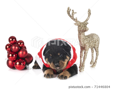 puppy rottweiler in studio 71446804