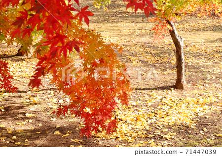 공원의 단풍나무와 은행 나무 낙엽 71447039