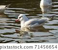 นกนางนวลเม่นทะเลฤดูหนาวอพยพมาที่บ่อน้ำในอุทยานชายหาด Inage 71456654