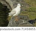 นกนางนวลเม่นทะเลฤดูหนาวอพยพมาที่บ่อน้ำในอุทยานชายหาด Inage 71456655