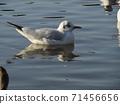 นกนางนวลเม่นทะเลฤดูหนาวอพยพมาที่บ่อน้ำในอุทยานชายหาด Inage 71456656