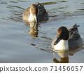 นกอพยพในฤดูหนาวที่มาถึงบ่อน้ำใน Inage Beach Park 71456657