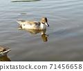 นกอพยพในฤดูหนาวที่มาถึงบ่อน้ำใน Inage Beach Park 71456658