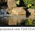 小さい滝と黄色い花ツワブキ 71457214