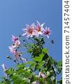 โคตี้ดาเรียตั้งตระหง่านอยู่บนท้องฟ้าสีน้ำเงินดอกพีช 71457404