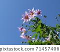 โคตี้ดาเรียตั้งตระหง่านอยู่บนท้องฟ้าสีน้ำเงินดอกพีช 71457406
