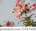โคตี้ดาเรียตั้งตระหง่านอยู่บนท้องฟ้าสีน้ำเงินดอกพีช 71457408