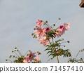 โคตี้ดาเรียตั้งตระหง่านอยู่บนท้องฟ้าสีน้ำเงินดอกพีช 71457410