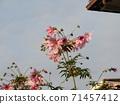 โคตี้ดาเรียตั้งตระหง่านอยู่บนท้องฟ้าสีน้ำเงินดอกพีช 71457412