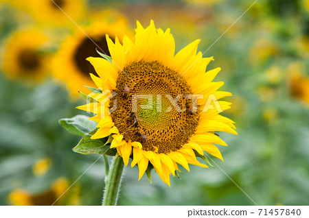 Beautiful sunflower in a field 71457840