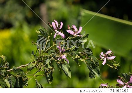 Pink flower or Bauhinia flower 71464162