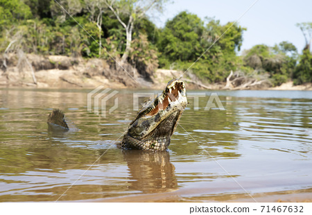Close up of a Yacare caiman in a river with a tail up 71467632