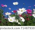 秋天的櫻花和陽光明媚的秋天的白色和粉紅色的波斯菊 71487930