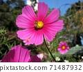 粉紅色的宇宙和蜜蜂 71487932