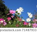 秋天的櫻花和陽光明媚的秋天的白色和粉紅色的波斯菊 71487933
