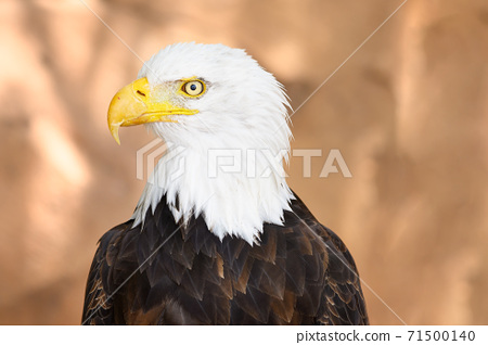 Close up on the face of a Bald Eagle in natural environment. High quality photography 71500140