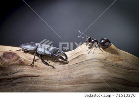 台灣扁鍬形蟲、鍬形蟲、扁鍬、Dorcus titanus sika、タイワンヒラタクワガタ、台灣甲蟲 71513276