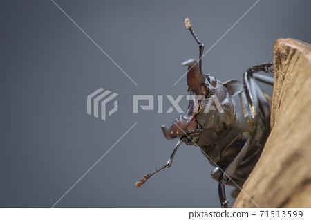 台灣高砂鋸、高砂鋸、高砂鋸鍬形蟲、タカサゴノコギリクワガタ、台灣甲蟲、Prosopocoilus m 71513599