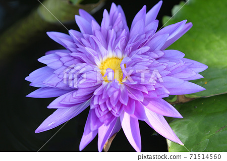Multicolored flowers lilies grow in the water 71514560