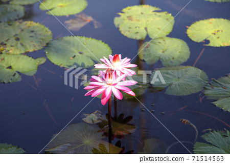 Multicolored flowers lilies grow in the water 71514563