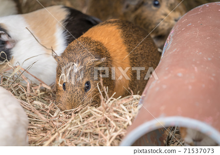 [可愛的多摩動物公園豚鼠] 71537073