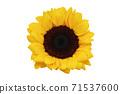 黃色向日葵 71537600