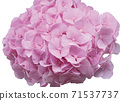 粉紅繡球 71537737