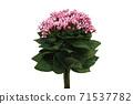 粉紅色的buvardia 71537782