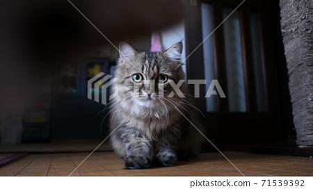 고양이 71539392