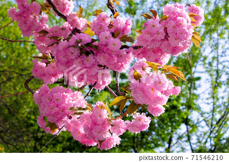 pink cherry blossom on a sunny day. nature beauty in springtime 71546210