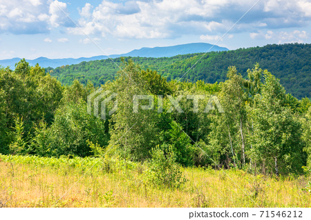 young forest on the meadow in mountains. summer nature scenery with range of trees beneath a blue sky with fluffy clouds in summer 71546212