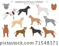 Pit bull type dogs. American pit bull terrier. Different variaties of coat color bully dogs set 71548371