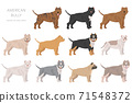 American bully dogs set. Color varieties, different poses. Dogs infographic collection 71548372