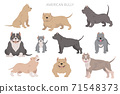 American bully dogs set. Color varieties, different poses. Dogs infographic collection 71548373