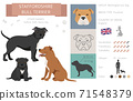 Staffordshire bull terrier dog. Characteristic, color, temperament info. Dogs infographic collection 71548379