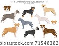 Pit bull type dogs. Staffordshire bull terrier. Different variaties of coat color bully dogs set 71548382